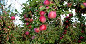 Apples-Himanchal